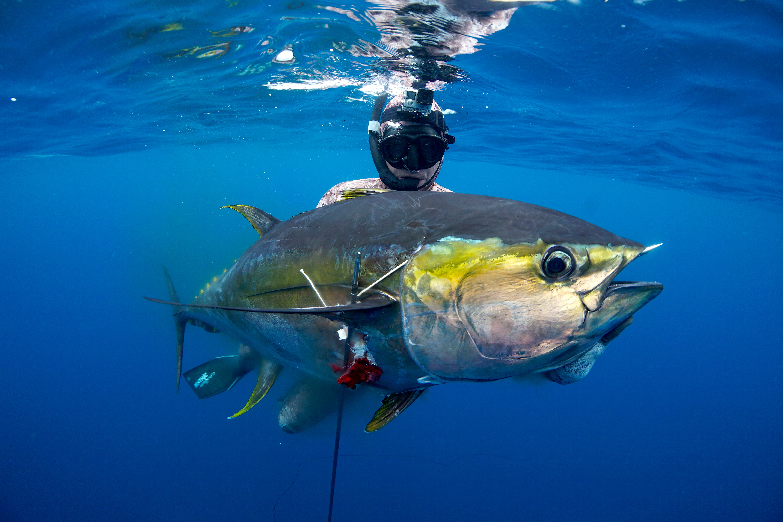 Spearfishing panama info for Fishing for tuna